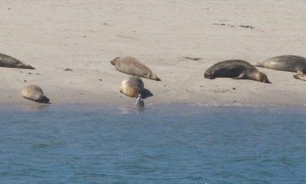 Zeehondjes zoeken op de Maasvlakte