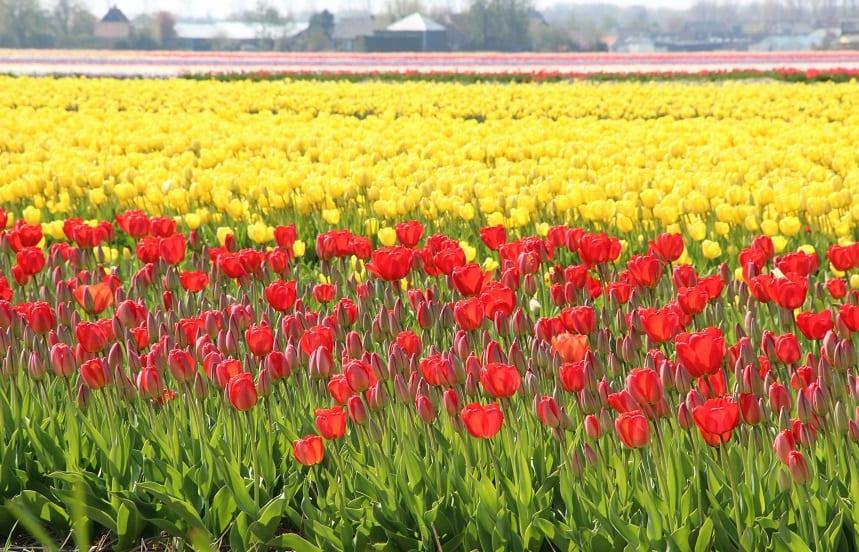 De Keuze van Kees; zeg het met tulpen!