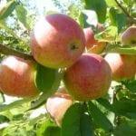 Over appels én peren