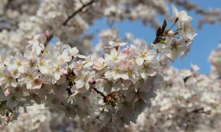 Bij Japanse bloesempark begint het voorjaarsgenieten